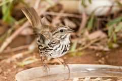 Belding's Savannah Sparrow. Adult Belding's Savannah Sparrow Perched on Water Dish in Garden Royalty Free Stock Images