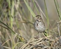 Belding`s Savannah Sparrow Stock Photo