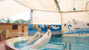 BELEK TURKIET - OKTOBER 04, 2014: Delfinshow, Troy Dolphinarium Två belugaval Royaltyfri Foto