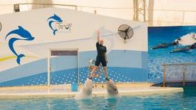 BELEK, TURQUIA - 4 DE OUTUBRO DE 2014: Mostra dos golfinhos, Troy Dolphinarium Duas baleias da beluga foto de stock royalty free
