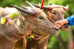 Belemmeringsbuffels stock foto's