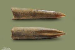 Belemnite - almeja fósil Foto de archivo libre de regalías