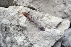 Belemnite fossil in chalk rock quarry. Stock Images