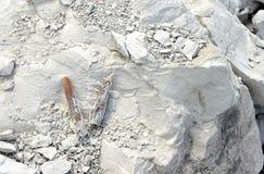 Belemnite fossils in chalk rock. quarry mine Stock Image