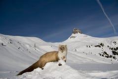 Belette dans la neige photo stock