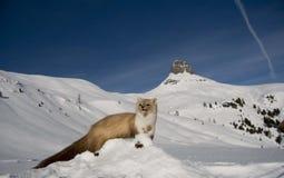Belette en neige de montagne de l'hiver Images libres de droits