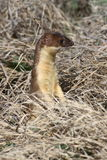 Belette Long-tailed Photo libre de droits
