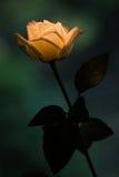 Beleuchtung Rose Lizenzfreies Stockbild
