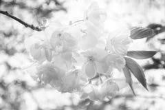 A beleza é transcendente - em preto e branco Foto de Stock