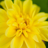 Beleza amarela Imagem de Stock Royalty Free