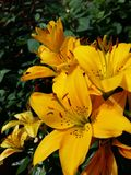 Beleza amarela Fotos de Stock Royalty Free