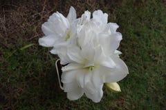Beleza Amaryllis: Mini White Fotos de Stock Royalty Free
