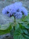 Beleza azul Imagens de Stock