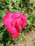 Beleza cor-de-rosa imagens de stock royalty free