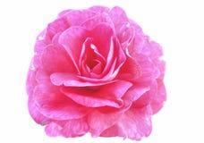 Beleza cor-de-rosa Fotografia de Stock Royalty Free