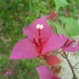 Beleza cor-de-rosa da flor fotos de stock