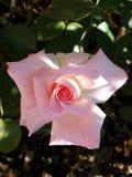 A beleza cor-de-rosa a mais pálida de uma Rosa imagens de stock