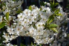 Beleza da árvore de cereja da flor do jardim da mola Imagens de Stock