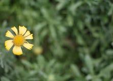 Beleza da flor alaranjada amarela e vibrante Imagem de Stock Royalty Free