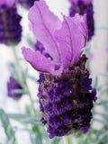 Beleza da flor da alfazema imagem de stock royalty free