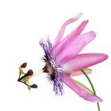 Beleza da flor da paixão fotos de stock