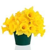 Beleza da flor do Daffodil foto de stock