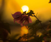 Beleza da flor e do por do sol na natureza na cidade de Tailândia imagem de stock