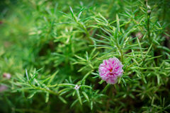 Beleza da flor ou do Moss Rose do pussley sob a luz natural na manhã Foto de Stock Royalty Free