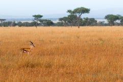 Beleza da gazela foto de stock