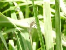 A beleza da libélula fotografia de stock royalty free