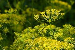 Beleza da saúde do aneto do sol do verão Imagem de Stock Royalty Free