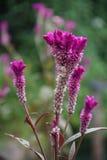Beleza da violeta Fotografia de Stock