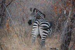 A beleza da zebra Fotografia de Stock Royalty Free