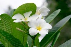 A beleza das flores brancas fotografia de stock royalty free