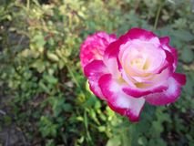 A beleza das rosas Fotos de Stock Royalty Free