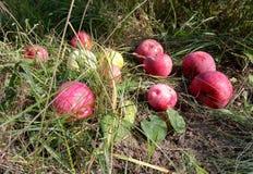 Beleza de maçãs maduras Um lugar acolhedor do cozA no lugar orchardIy no orchardI imagem de stock royalty free