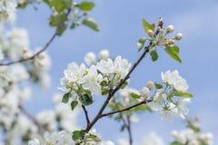 A beleza de mola da árvore de maçã cor-de-rosa e branca floresce no ramo Fotos de Stock Royalty Free