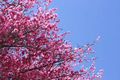 Beleza de mola em japão Imagem de Stock Royalty Free