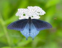 Beleza de Swallowtail no azul imagens de stock