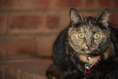 A beleza de um gato Imagem de Stock
