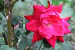 Beleza de uma rosa fotografia de stock royalty free