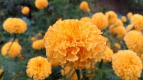 Beleza do cravo-de-defunto da natureza Fotografia de Stock Royalty Free