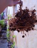 Root of a lemon tree stock photos