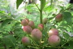 Beleza do fruto de ?rvore do caril foto de stock royalty free