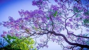 A beleza do jacaranda Fotografia de Stock Royalty Free