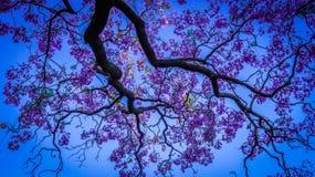 A beleza do jacaranda na mola Foto de Stock Royalty Free