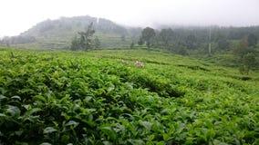 A beleza do jardim de chá imagens de stock