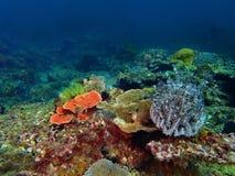 A beleza do mergulho subaquático do mundo em Sabah, Bornéu fotografia de stock royalty free