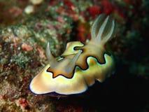 A beleza do mundo subaquático, close up com o coi de Chromodoris em Sabah, Bornéu fotos de stock royalty free