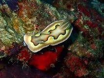 A beleza do mundo subaquático, close up com o coi de Chromodoris em Sabah, Bornéu fotografia de stock